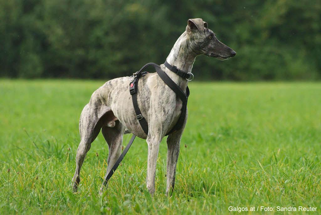 Galgo Hunde