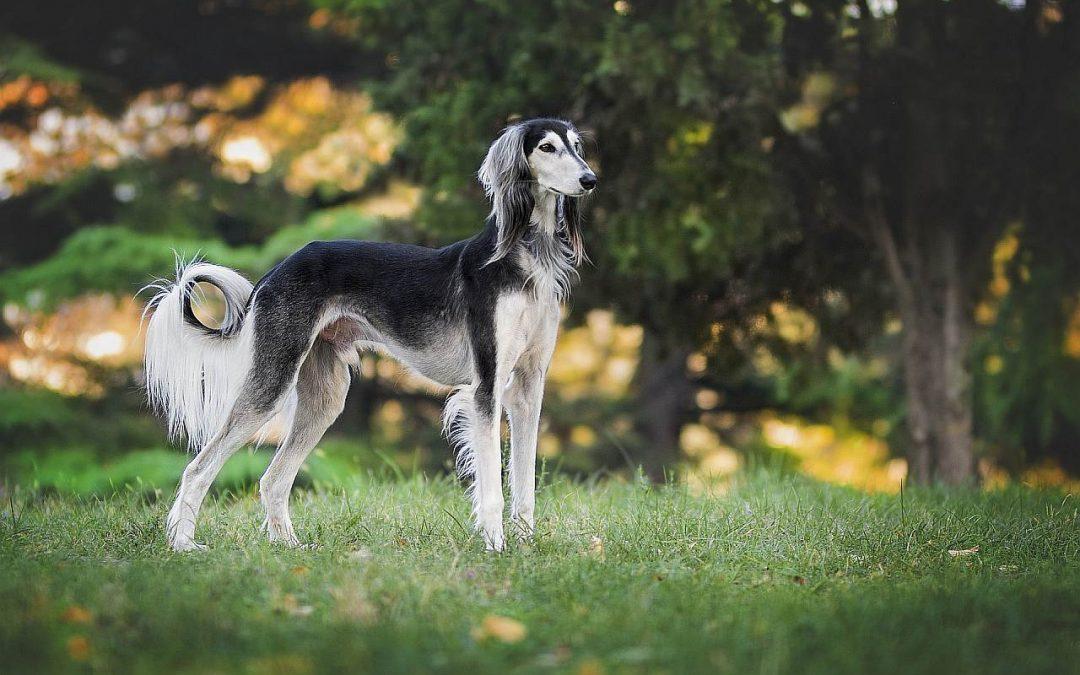 Windhunde: Die schnellsten Hunderassen